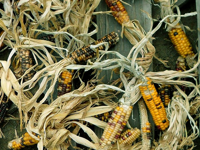 Free corn harvest maize autumn agricultural produce