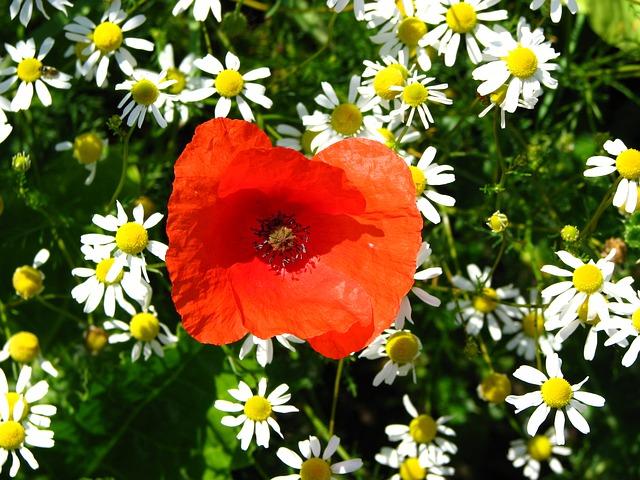 Free poppy chamomile red flower field summer