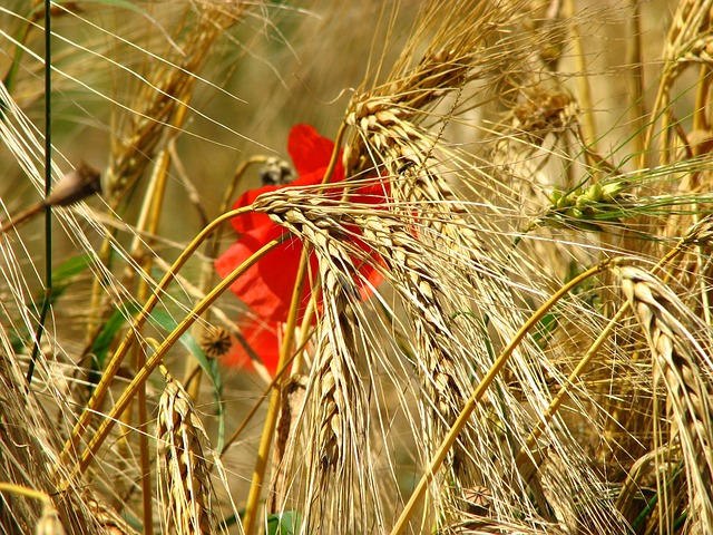Free wheat field spike wheat cornfield poppy cereals