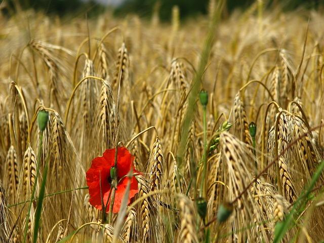 Free poppy cornfield weizenären ary wheat field cereals