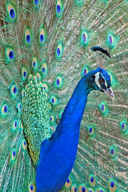 Free peacock feathers bird head beak blue california