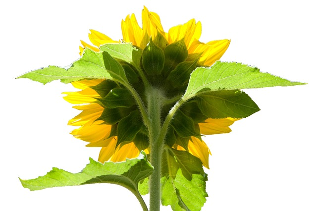 Free sunflower reverse behind back yellow green