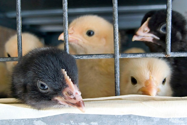 Free cage chicks babies yellow black beak chicken