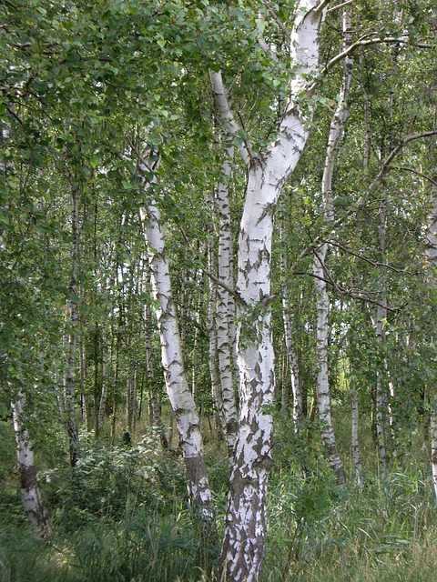 Free birch tribe forest tree log