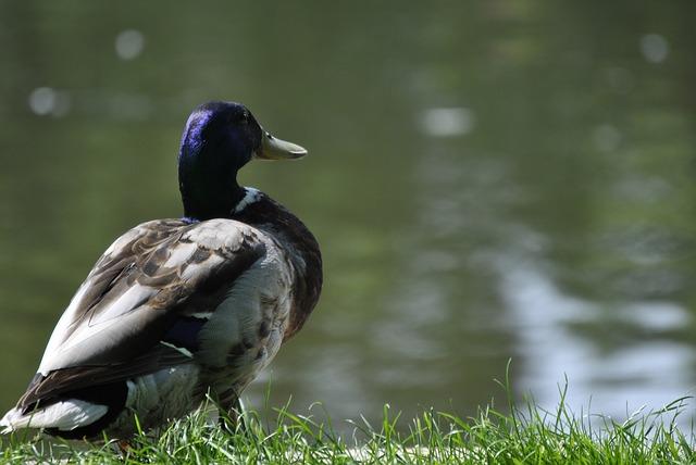 Free duck drake see duck bird water bird landscape