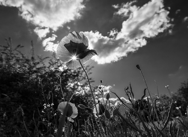 Free poppy grass flower meadow green plant clouds