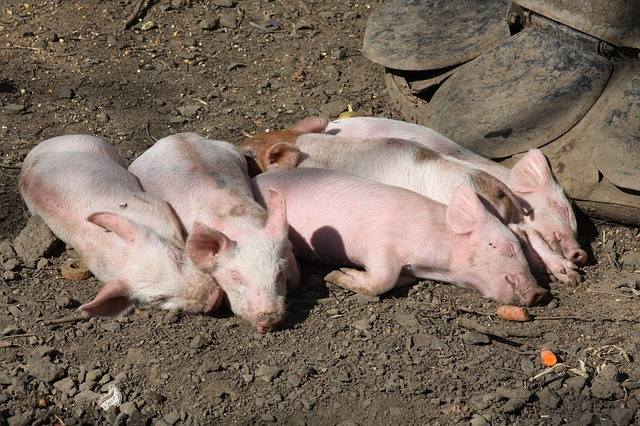 Free pigs farm animals sleeping wildlife animals