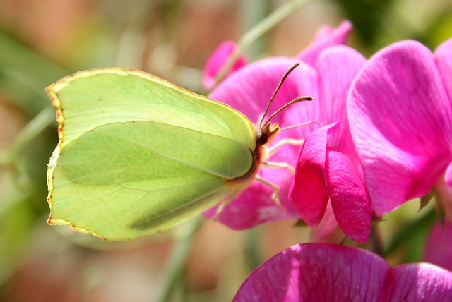Free Photos: Gonepteryx rhamni butterfly insect flower nature | caja