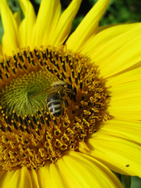 Free sun flower bee yellow nectar insect busy bee