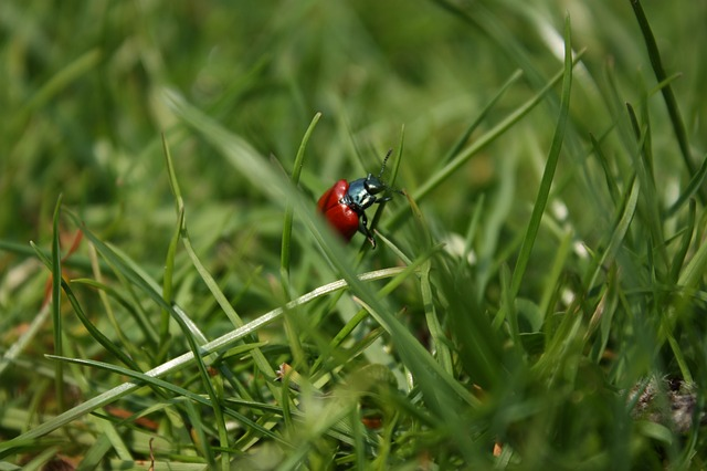 Free beetle grass insect blades of grass red