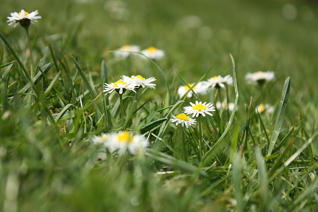 Free flower meadow daisy grass meadow flowers nature
