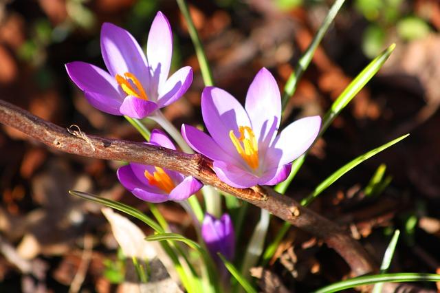 Free crocus purple spring flowers bloom plant nature
