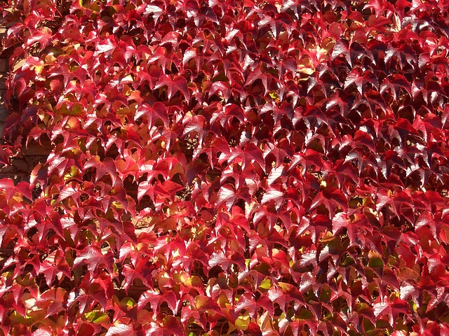 Free wine partner wine leaves autumn fall foliage red