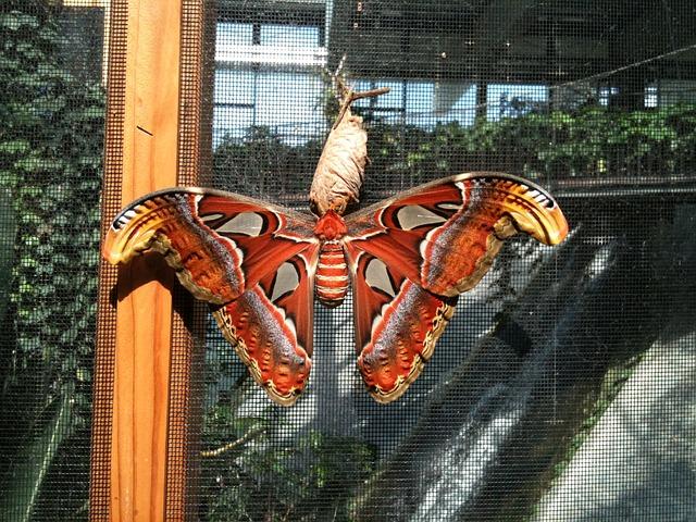 Free butterfly atlas moth attacus atlas moth