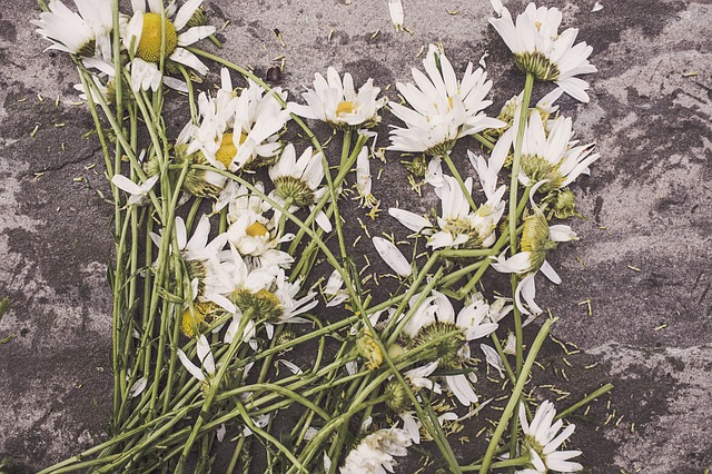 Free marguerites flowers withered floor dead destroyed