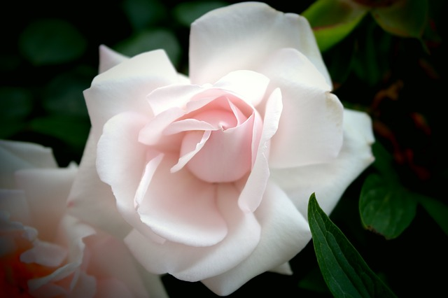 Free white rose flowers view decorative