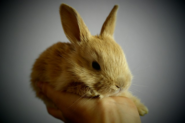 Free rabbit small light brown foot ears possession of