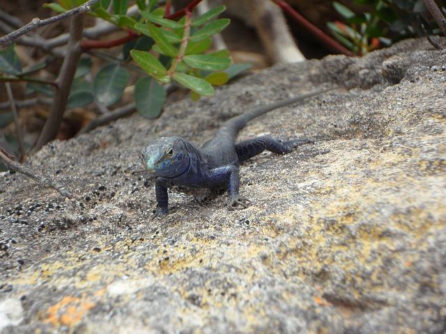 Free lizard endemic cabrera reptile animal creature