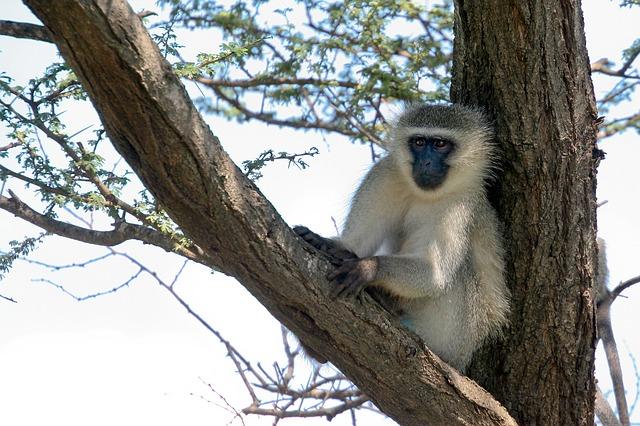 Free vervet monkey monkey animal seated tree african