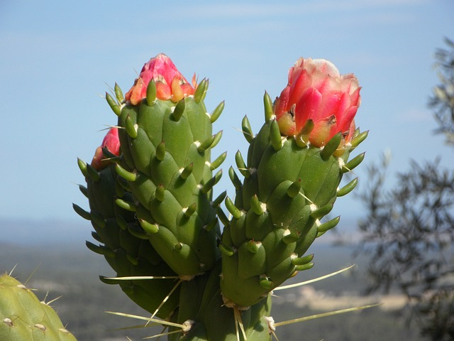Free cactus blossom cactus bloom flower flowers plant