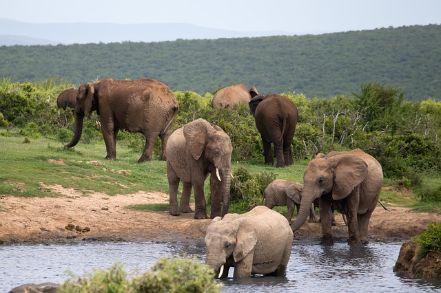 Free elephants bathing wildlife addo south africa water