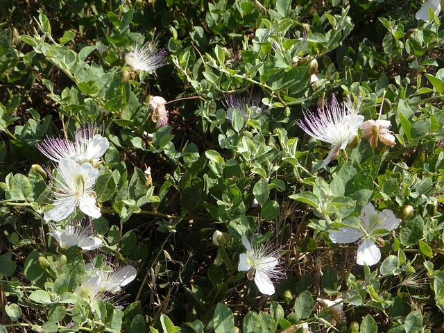 Free capture hijack shrub mediterranean hijack bush bush