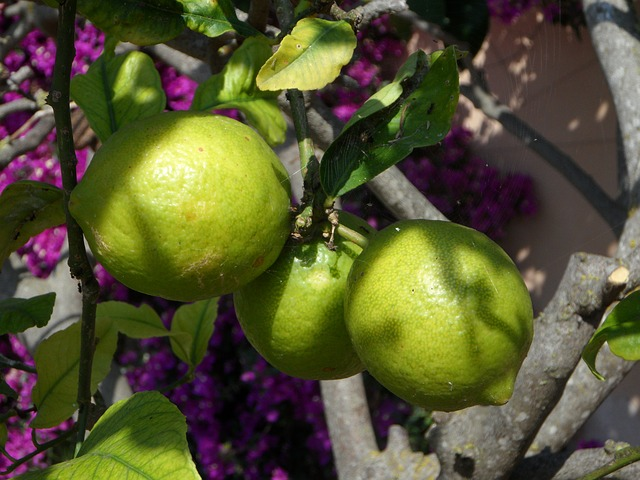 Free lemons lemon tree citrus citrus fruits sour fruit