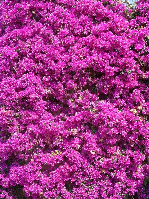Free bougainvillea four o'clock plant triple flower pink