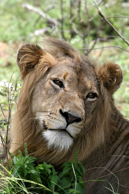 Free lion portrait wildlife mammal carnivore mane head