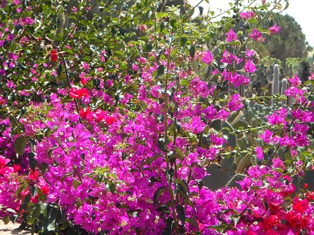 Free bougainvillea garden mediterranean flowers