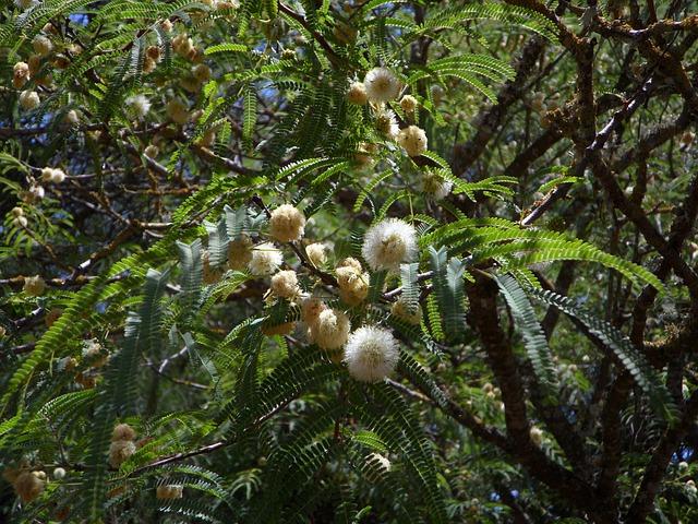 Free mimosa acacia tree mimosa plant ball flower white