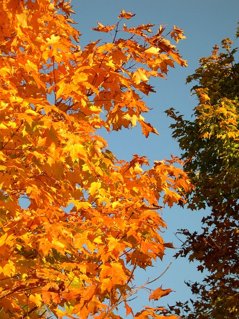 Free trees maple sky blue yellow beautiful growth