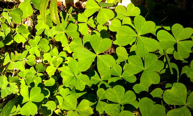 Free shamrock green irish nature plant spring leaf