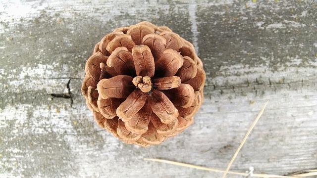 Free               conifer cone pine cone cone pine coniferous brown