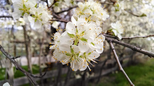 Free flower white blossom tree branch bright closeup