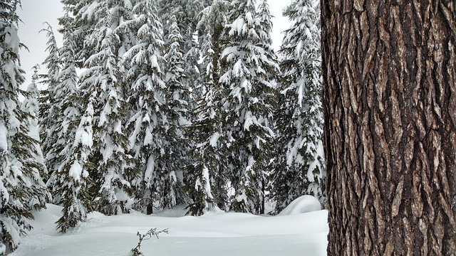 Free snow forest trees pine winter season nature cold