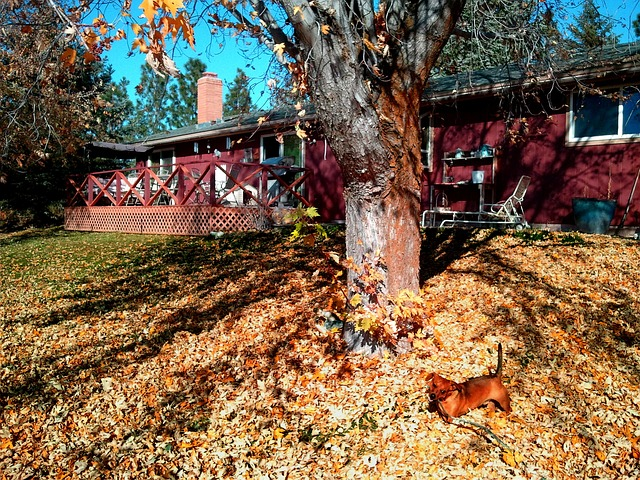Free backyard dachshund fall autumn seasonal outdoor