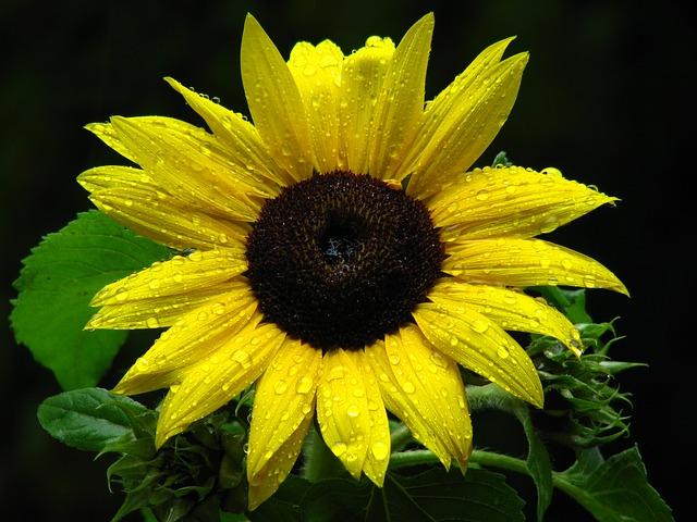 Free sun flower drop of water flower drip yellow beaded