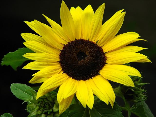 Free sun flower flower yellow summer