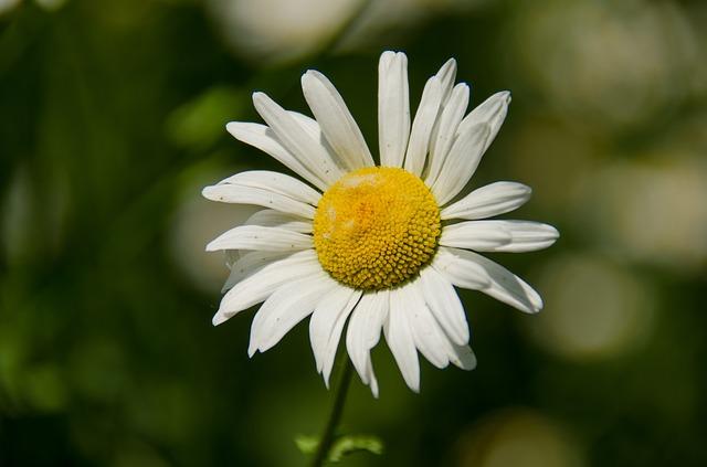 Free daisy flower white summer flowers bloom closeup