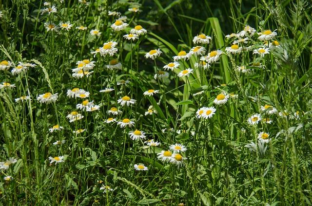 Free chamomile flowers daisy white flower white flowers