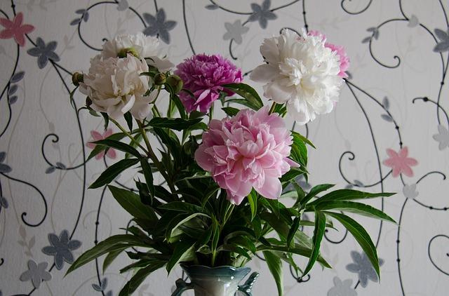 Free peonies flowers white pink closeup june