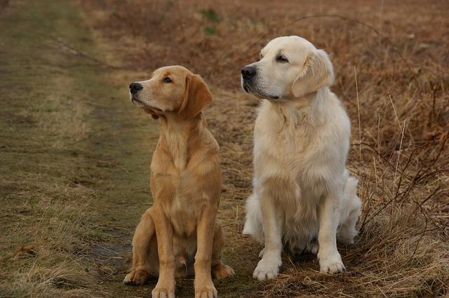 Free golden retriever dogs pets retriever