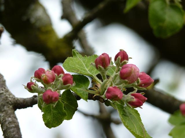Free apple tree flower bud spring close road