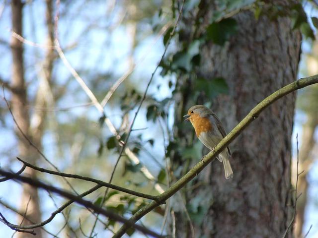 Free robin songbird bird animal birdsong forest close
