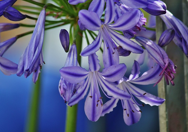 Free agapanthus lily inflorescence ornamental plant