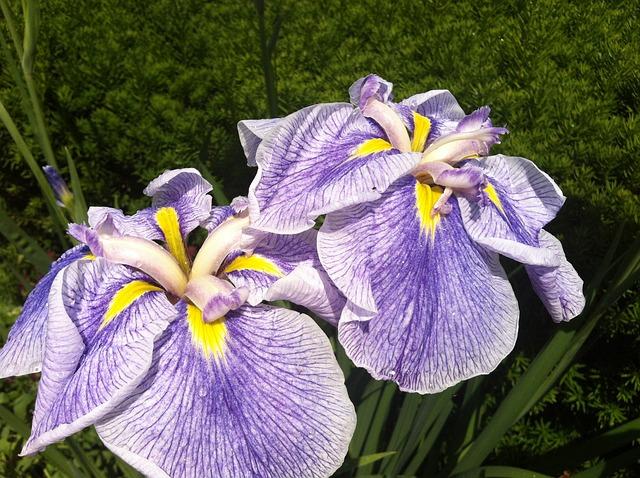 Free iris flower purple blossom summer petal garden