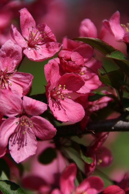 Free blossoms pink nature spring beautiful garden
