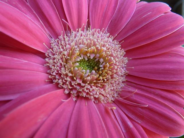 Free gerbera daisy pink flower