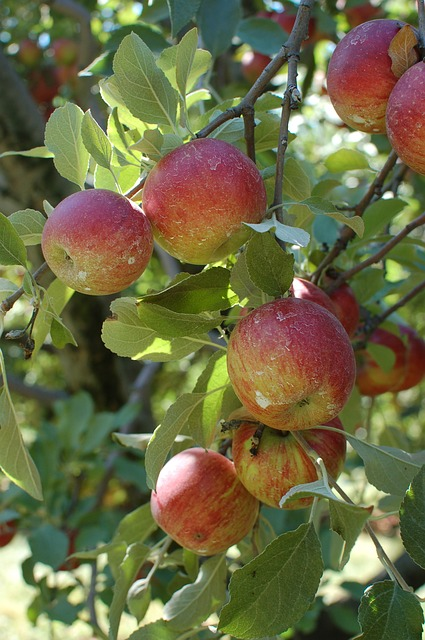 Free apples orchard tree fruit fall autumn harvest